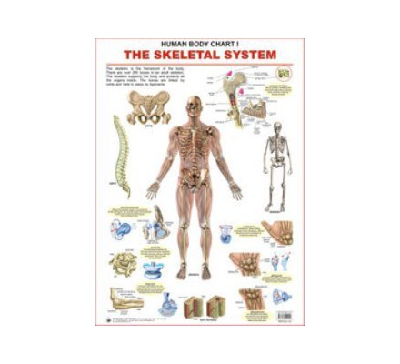 Dl Charts Human Body Skeletal System 1 Text Book Centre